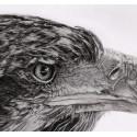 dessin - L'Aigle-alexis-raoult