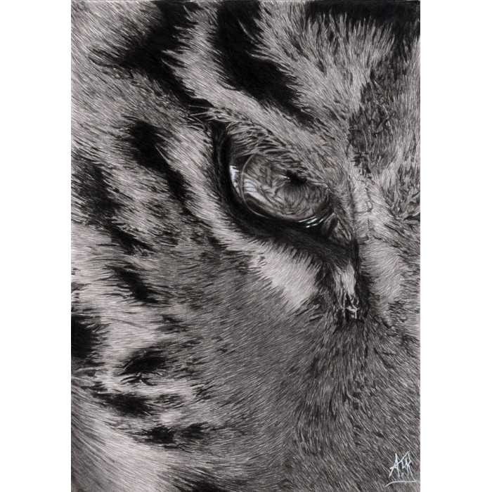 drawing - The eye of the Tiger