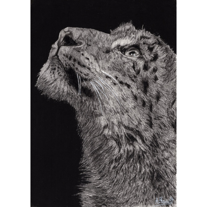 Drawing - Snow Leopard