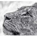 Drawing - lioness