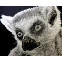 Drawing - The Lemur