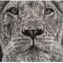 dessin - Lewa, la lionne, thoiry