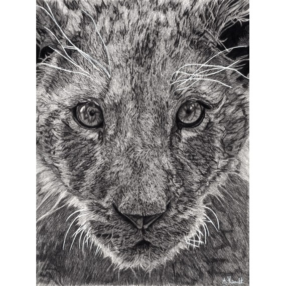 dessin - Léo, Le Lionceau, Thoiry -alexis-raoult