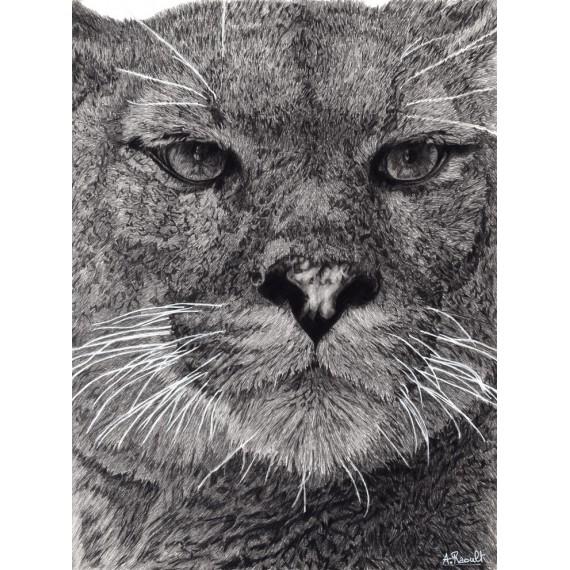 dessin - Maceo, Le Puma, Ménagerie -alexis-raoult
