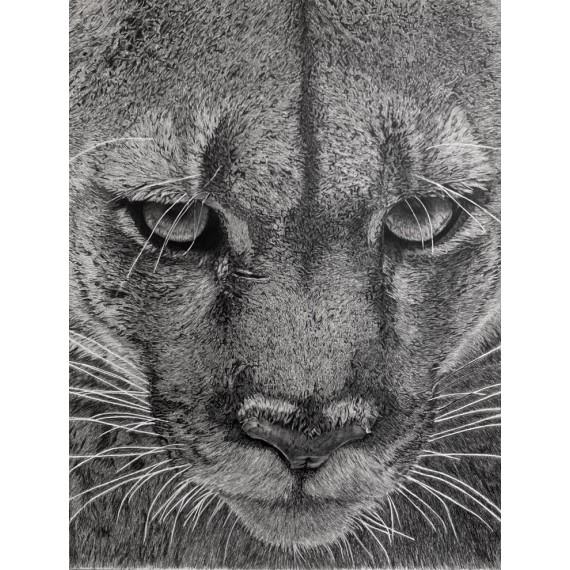 dessin - Kali, le Puma, Vincennes -alexis-raoult